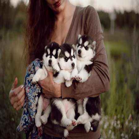 Foto De Cachorros Siberianos