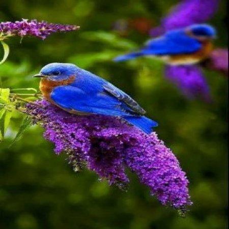 Foto Pajarillo Azul Naturaleza Hermosa