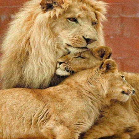 Fotos Hermosas De Animales Leon Y Familia