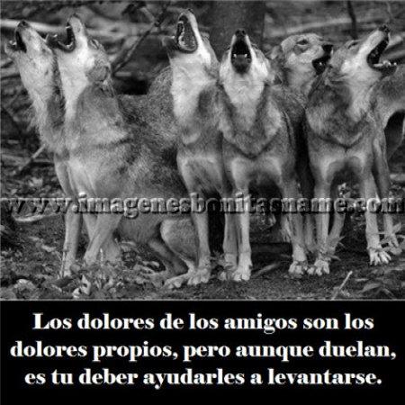 Hermosos Lobos Aullando