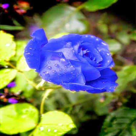 Imagen Con Hermosa Rosa Azul