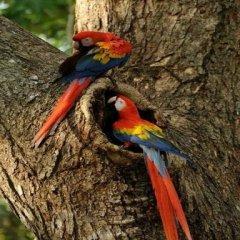 Foto Papagayos Anidando Costa Rica