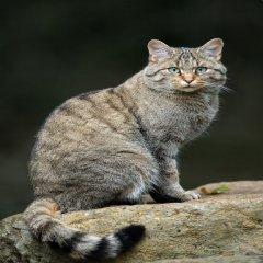 Gato Montes Europeo