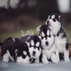 Imagenes De Cachorros Siberianos